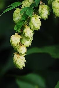 Chmel - jedna ze základních surovin pro výrobu piva