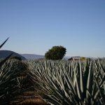 Jak se vyrábí pravá mexická tequila a jak se vlastně správně pije?