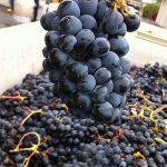 Nejznámější odrůdy červeného vína – Frankovka