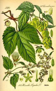 Chmel otáčivý- Humulus lupulus - ilustrace