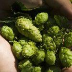 Které české odrůdy chmele by měl znát každý správný pivař?