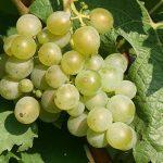 Nejznámější odrůdy bílého vína – Müller Thurgau