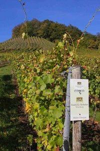 Vinice odrůdy Müller Thurgau