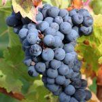 Nejznámější odrůdy červeného vína – Modrý Portugal