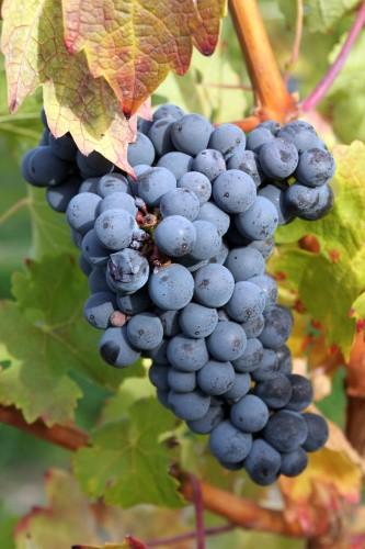 Hrozny odrůdy Modrý Portugal