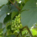 Nejznámější odrůdy bílého vína – Chardonnay