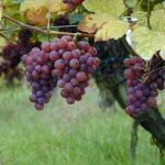 Nejznámější odrůdy bílého vína – Tramín červený
