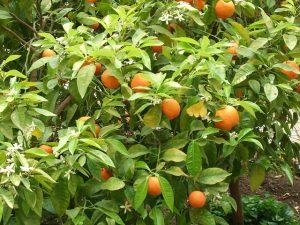 Hořké pomeranče