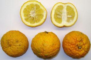 Hořké pomeranče Laraha