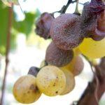 Botrytické víno, aneb když plíseň vínu prospívá