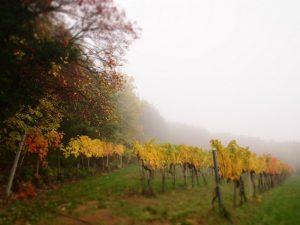 Vinice v podzimní mlze